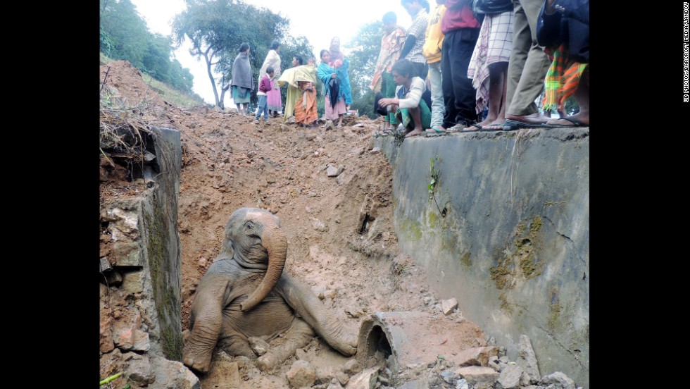 A baby elephant sits stuck in a ditch near the railway tracks in Assam, India, on February 17. A group of wild elephants was crossing the tracks when the calf got injured and fell.