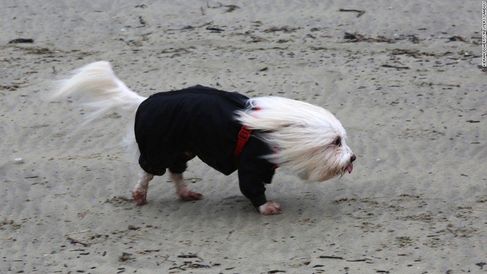A Coton de Tulear dog is blown by strong winds on the beach in Lyme Regis, southern England, on February 14.