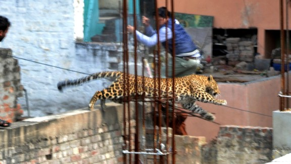 A leopard runs through a built-up area of Meerut in Northern India.