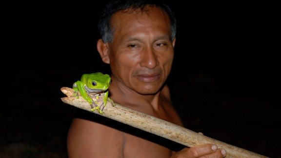 The giant monkey frog, known locally as acaté, produces slime that is used by the Matsés tribe to treat wounds.