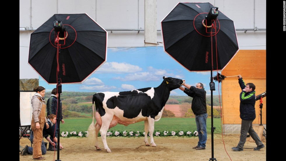 A cow stands in front of a backdrop while it's prepped to have its picture taken during a two-day milker competition in Verden, Germany, on Thursday, February 27.