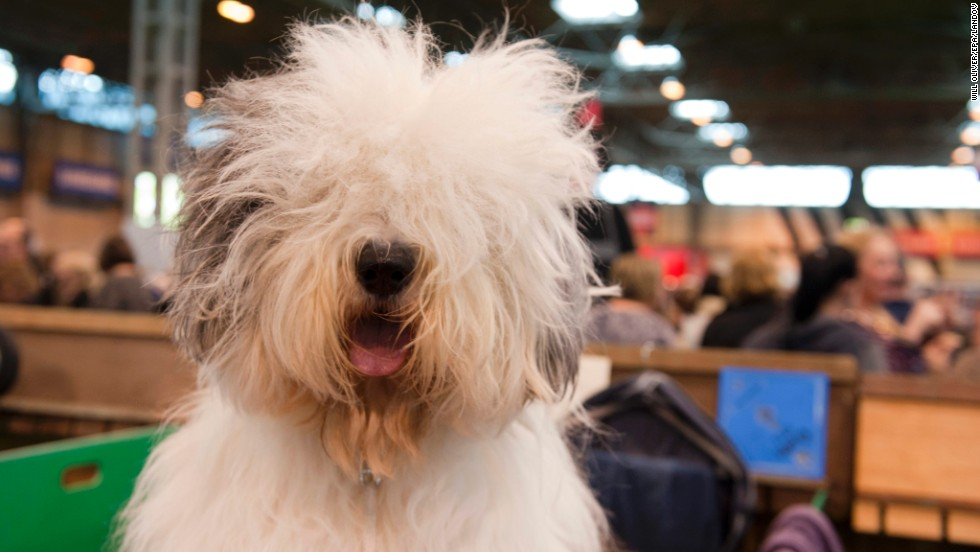 An Old English Sheepdog is seen on March 6.