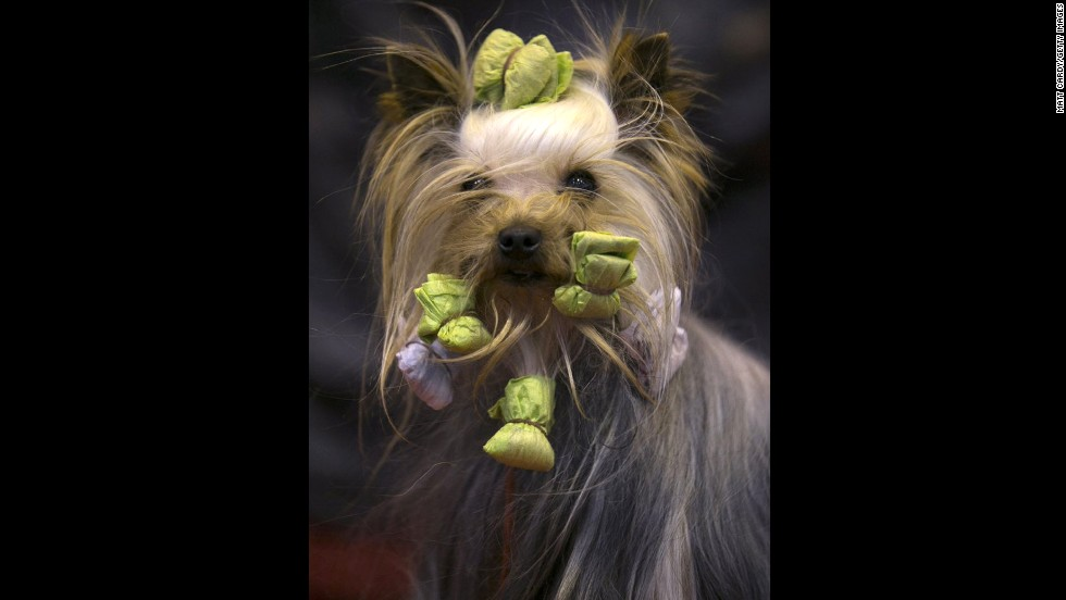 Jonty, a Yorkshire terrier, is groomed before being shown on the third day of the show, March 8.