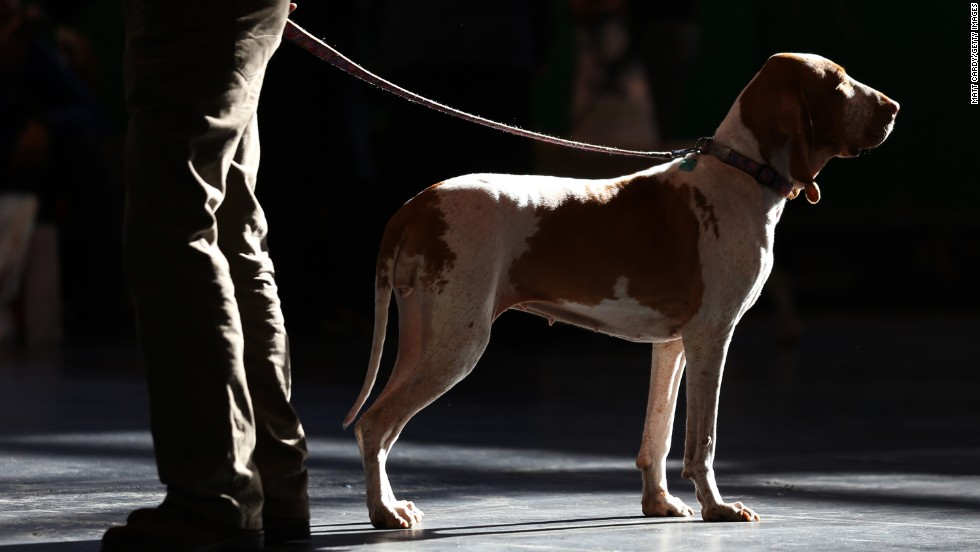 A pointer stands with its owner on March 9, the final day of the Crufts dog show.