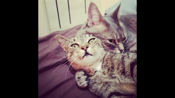 Mowgli and Dilla are short-haired tabby cats. Goulder