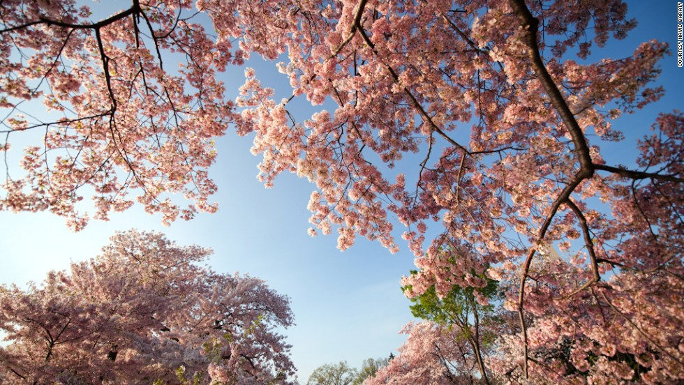Cherry Blossoms Reach Their Peak In Washington Dc Cnn Travel