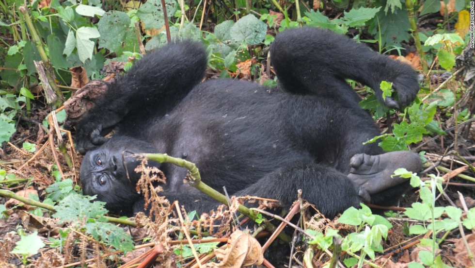 CNN's Zain Verjee trekked through Uganda's Bwindi Impenetrable National Park, in search of its mountain gorillas.