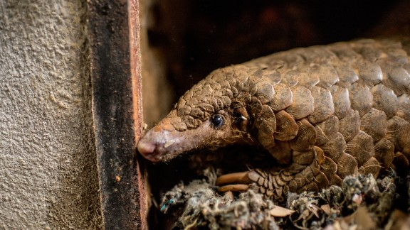 This is Lucky, a pangolin rescued from the illegal trade in Vietnam.