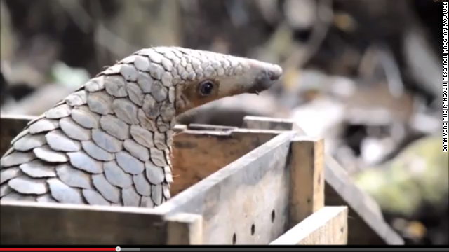 Pangolins are thought to be the most-trafficked mammals in the world. They're traded by the ton.