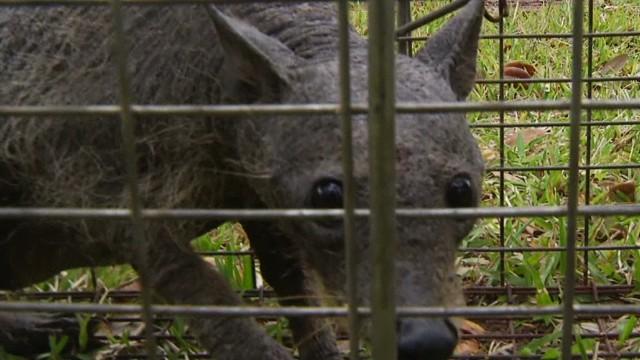 Is This Animal A Real Chupacabra - Cnn Video-4669