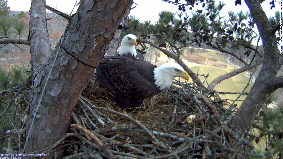 Dad Eagle Protects The Eggs In Decorah Nest