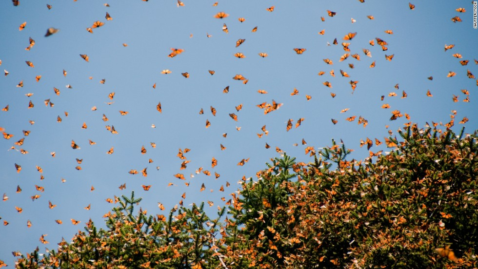 The Monarch Butterfly Biosphere Reserve in Mexico's Michoacan state is a winter home to tens of millions of butterflies.