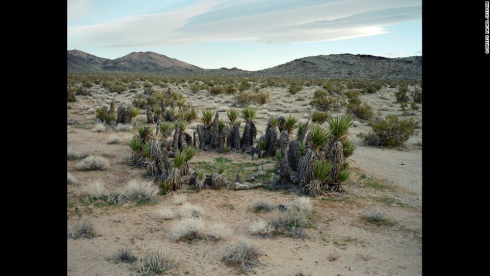 Mojave yucca. 12,000 years old. Mojave Desert, California.