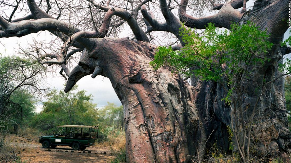 Pafuri baobab tree. Up to 2,000 years old stands inside Kruger Game Preserve, in South Africa.