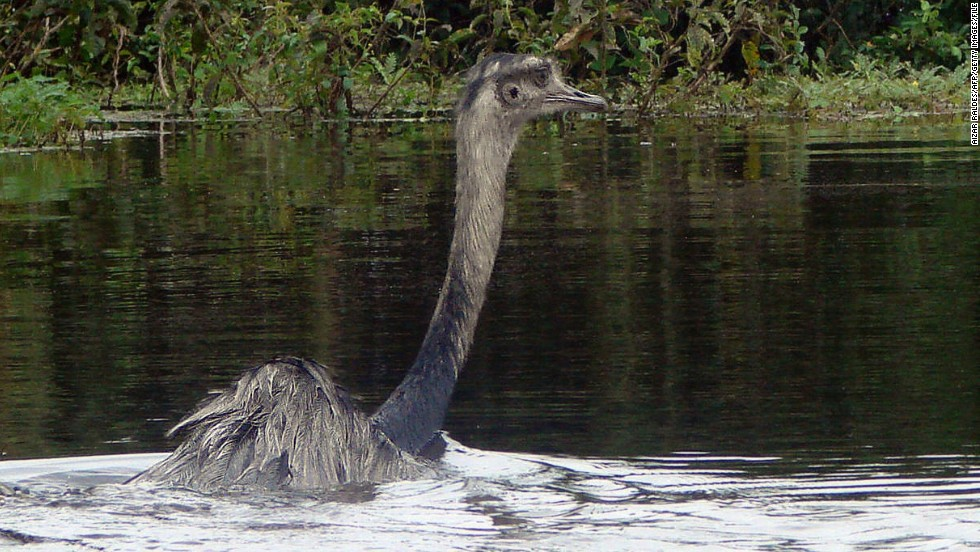 Rheas are native to South America, can grow up to four feet tall and reach top speeds of 40 miles per hour.