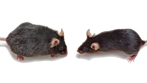 An old mouse, left, may benefit from the blood of a young mouse, right.