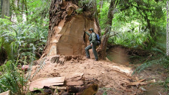 Wildlife biologist Terry Hines stands next to a poached redwood tree in California in May 2013. The burls provide unique and beautiful patterns for coffee tables and bar counter tops.