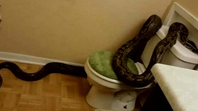 12-foot python found where?