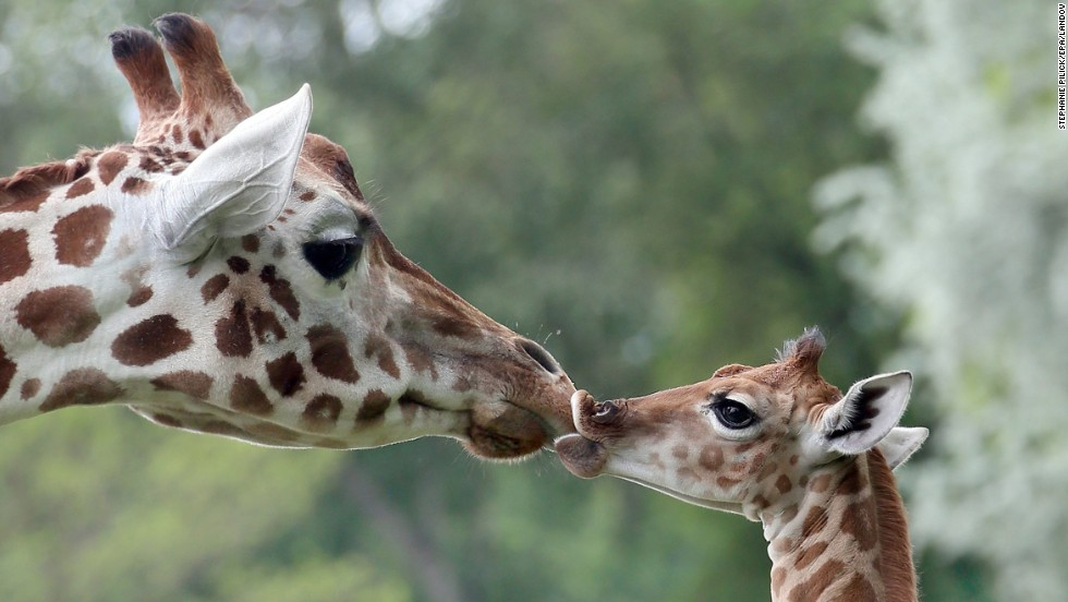 "Bine, a 9-day-old giraffe, licks the nose of its aunt Andrea at the Friedrichsfelde Zoo in Berlin on Friday, May 9. <a href=""http://www.cnn.com/2014/05/09/world/gallery/week-in-photos-0509/index.html"">See last week in 25 photos </a>"