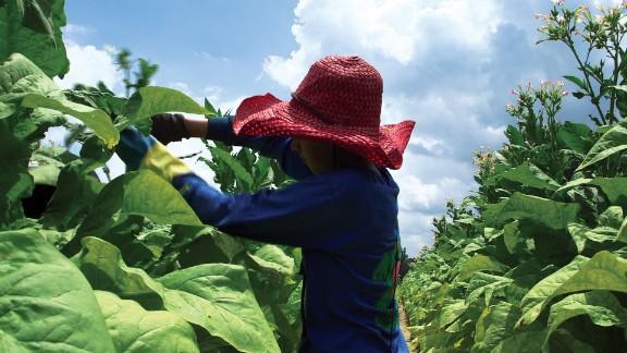 A 15-year-old girl works on a tobacco farm in North Carolina.
