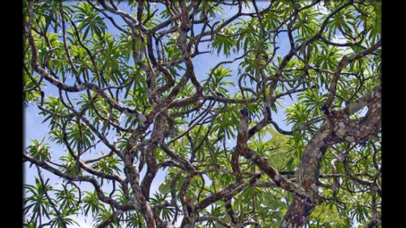 With its significant height, trunk diameter and multiple branches, it