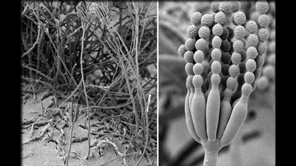 Aside from its coloration when it grows in colonies, Penicillium vanoranjei