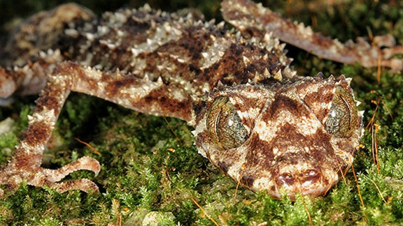 Saltuarius eximius was discovered in an isolated rainforest in eastern Australia. At about only 4 inches long and mostly nocturnal, you might not see one anytime soon.