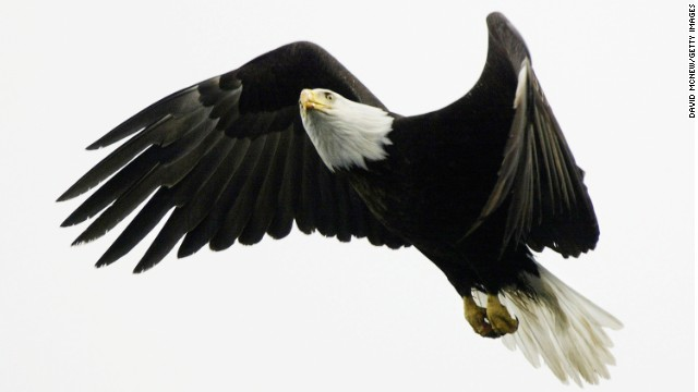 A bald eagle flies over Prince William Sound in Alaska. The birds can have a wingspan of over eight feet.