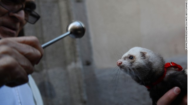A priest in Madrid blesses a ferret at the blessing of the animals ceremony on St. Anthony's Day.