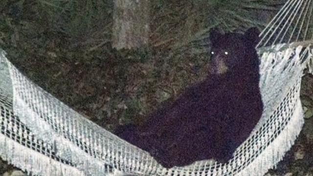 ac ridiculist bear in hammock  00002722 jpg man spots bear relaxing in his hammock   cnn video  rh   cnn