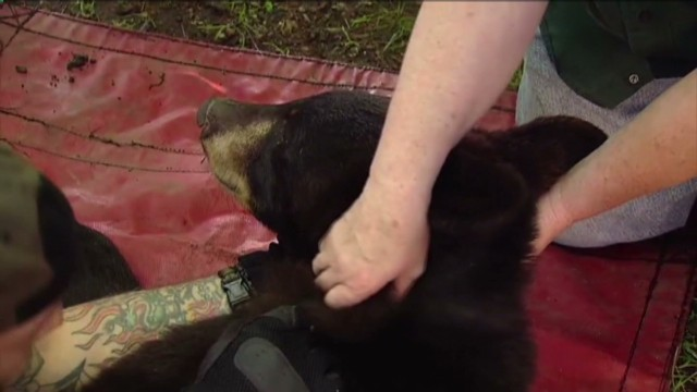 mxp vo bear falls out of tree news 12 new jersey_00005602.jpg