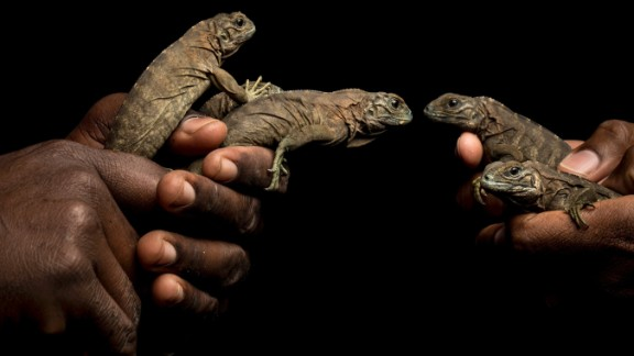 The Jamaican iguaua is a critically endangered species that lives in the Hellshire Hills in Jamaica. Preservation efforts are threatened by pending development of their habitat.