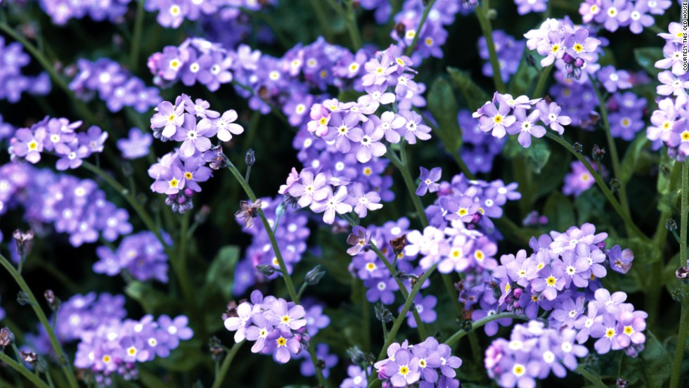 Alaska: Forget-Me-Not