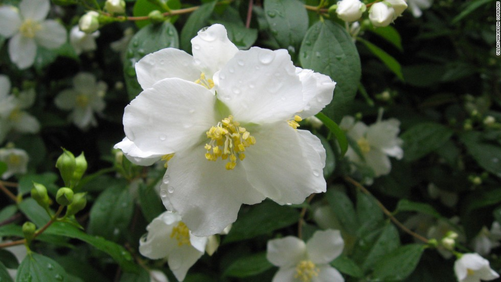 Idaho: Lewis's Mock Orange