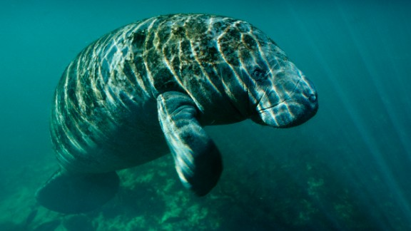 An aerial survey earlier this year had a preliminary total of 6,620 manatees in Florida.