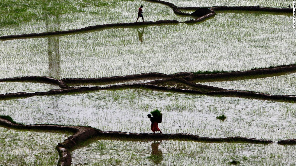 A woman carries paddy saplings before replanting them at a rice field in Chunikhel, Nepal, on Monday, June 30. The beginning of paddy cultivation has been delayed in Nepal this year because of the late arrival of monsoon rains.