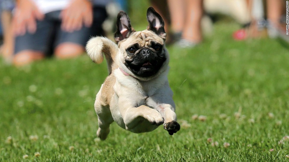 A pug races toward the finish line during the Munich Pug Race in Munich, Germany, on Sunday, July 6. Several hundred pugs competed in the 50-meter (164-foot) race.