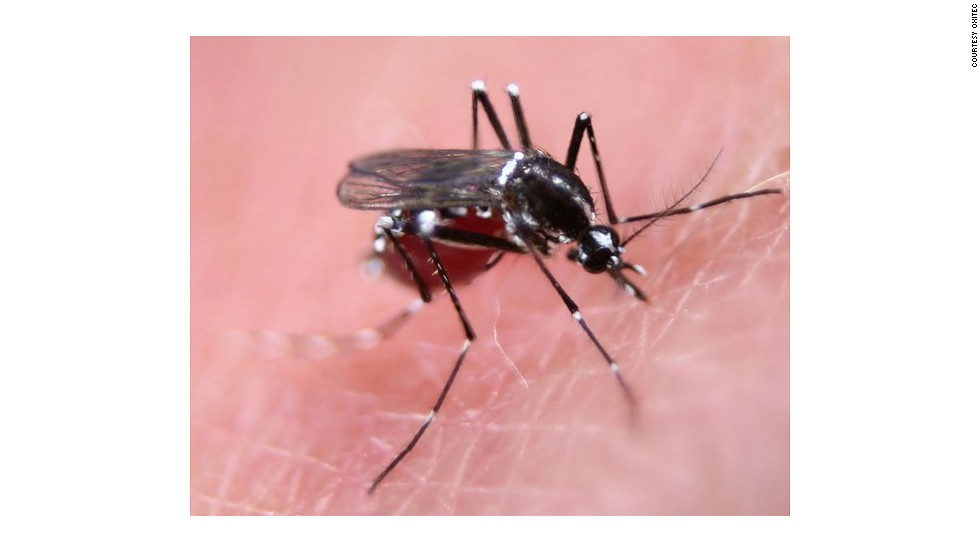 Female Aedes mosquito feeding