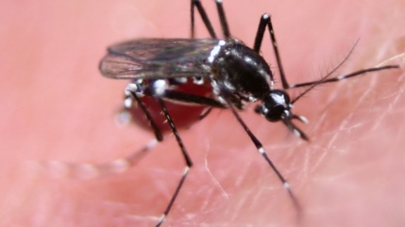 Female Aedes mosquito feeding