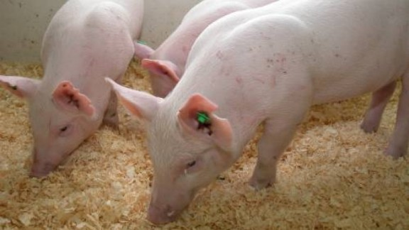 Enviropig, or 'Frankenswine', was modified for better digestion at the University of Guelph, Canada