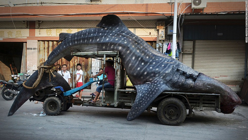 A fisherman in China's Yangzhi County transports a dead whale shark, which had gotten caught in a fisherman's net, on Friday, August 1. According to local media, the shark weights more than 2 tons and is nearly 5 meters (16.4 feet) long.