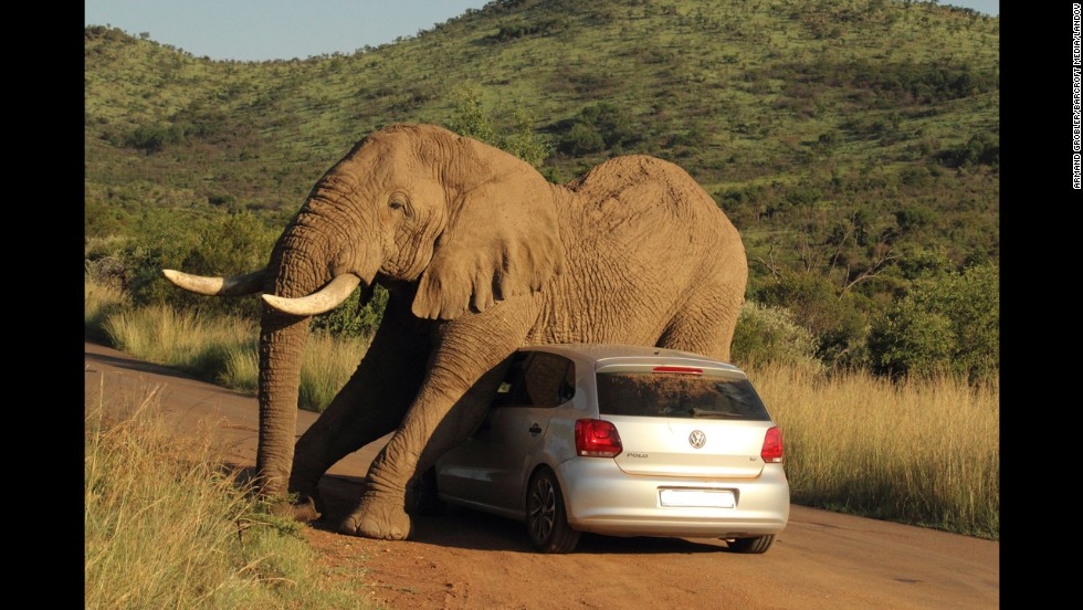 In this photo released Wednesday, August 6, an elephant relieves an itch on a small car in South Africa's Pilanesberg National Park. The two passengers in the car were shaken up but not injured.