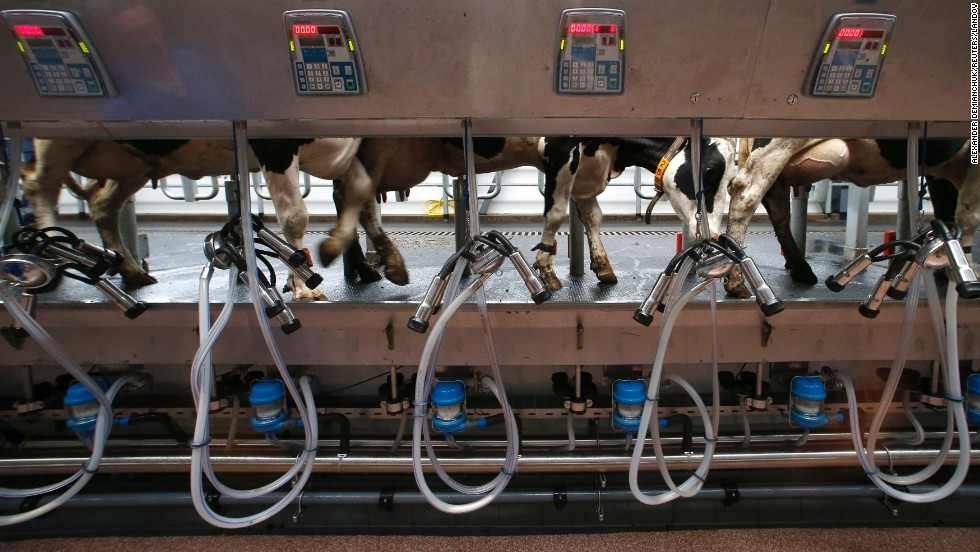 "Cows are seen before they are milked at a new dairy farm in the Russian village of Petrovskoye, about 56 miles north of St. Petersburg, on Friday, August 8. Russian President Vladimir Putin recently <a href=""http://www.cnn.com/2014/08/06/world/europe/russia-ukraine-crisis/index.html"">banned food and agricultural imports</a> from countries that have imposed sanctions against his country."