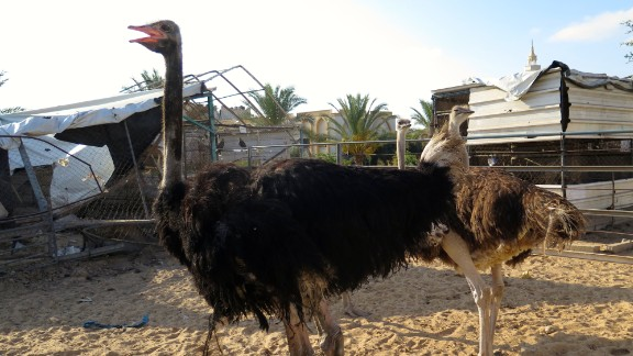 One ostrich was killed. The others remain in their pen in need of food to be provided to them by the staff.