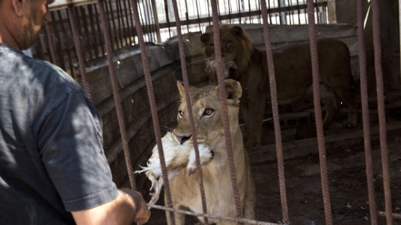 Zookeeper Farid al-Hissi feeds chickens to the lions.