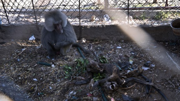 A baboon looks at the carcass of a family member at a zoo in Gaza, on Thursday, August 14. The zoo was almost completely destroyed during the Israel-Hamas conflict.