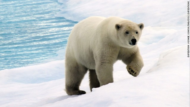 Arctic sea ice is a vital habitat for the polar bear. Photo: Expedition Voyage Consulting/EYOS Expeditions