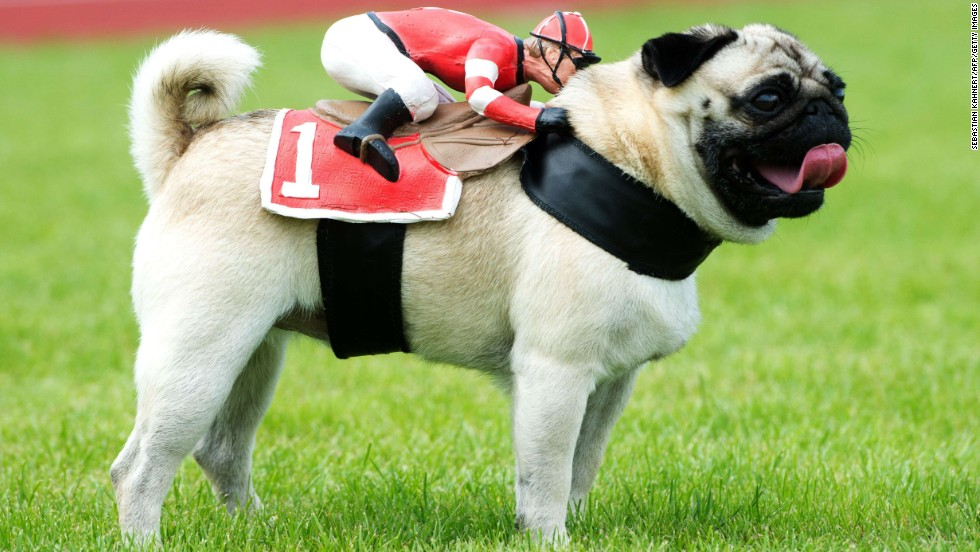 Tyson, a pug, wears a jockey figure on his back for a 50-meter race in Wernau, Germany, on Sunday, September 7. There were 160 animals taking part in the pug and bulldog race.