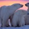 photo vacation-polar bears