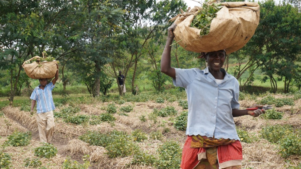 "Rwandan farmers harvesting crops for upcoming fragrance ""Patchouli of Rwanda""."